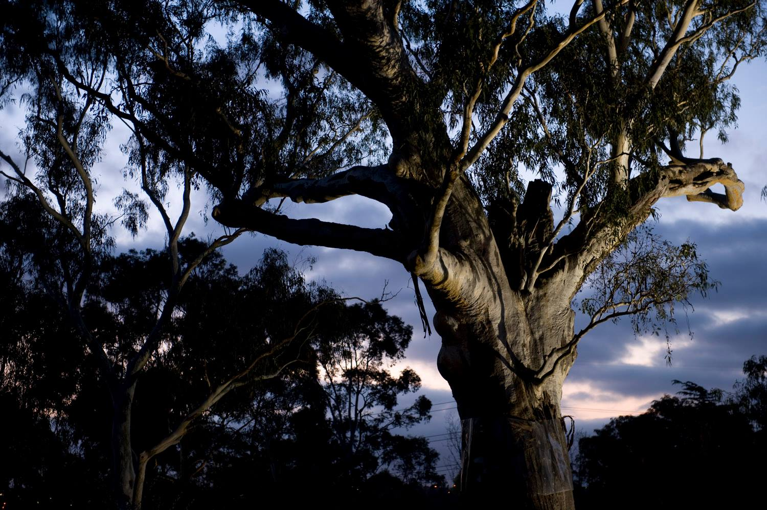 YINGABEAL: THE SONGLINE TREE AT HEIDE